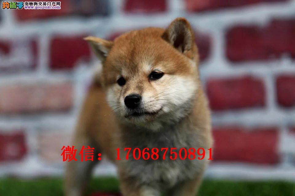 宁夏哪里有卖日系柴犬 纯种日系柴犬多少钱 柴犬图片
