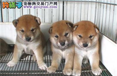 纯种日系柴犬,可爱,呆萌,看上联系