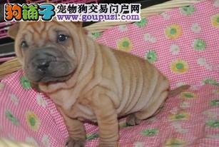 纯种沙皮狗幼犬、当面检查健康,品相质量均一流包3月