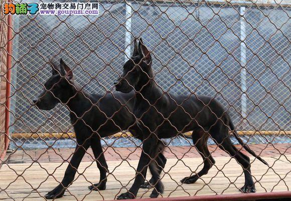 武汉养殖场直销完美品相的大丹犬爱狗人士优先