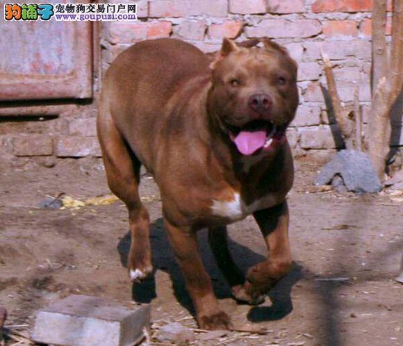 知名犬舍出售多只赛级比特犬价格低廉品质高