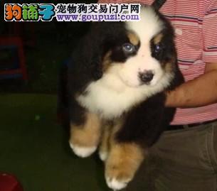 伯恩山专业繁殖 可面对面开视频看狗 拒绝低价骗局