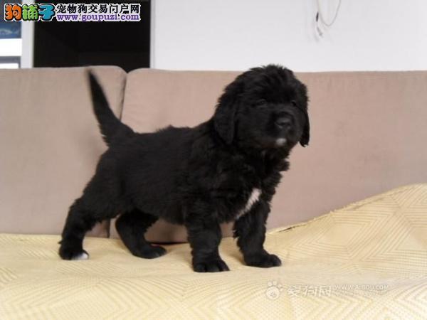 杭州实体店出售精品纽芬兰犬保健康诚信经营良心售后