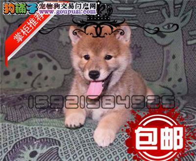 日本引进纯种小柴 正规养殖 终身售后保障 日本柴犬
