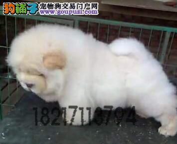 长期繁殖纯萌萌哒松狮犬 各类纯种名犬 包养活签协议