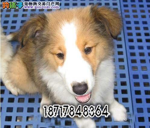 犬舍直销苏牧幼犬 品质保障 价格低 疫苗驱虫齐全