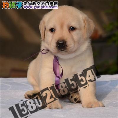 犬舍直销精品拉布拉多包纯种包健康