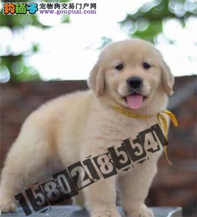 犬舍直销精品金毛包纯种包健康