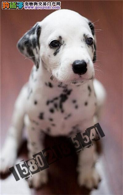 犬舍直销精品斑点狗包纯种包健康