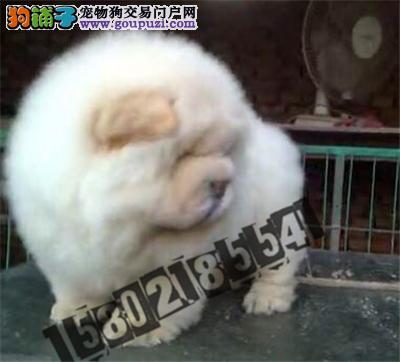犬舍直销精品松狮包纯种包健康
