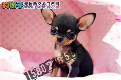 犬舍直销精品吉娃娃包纯种包健康