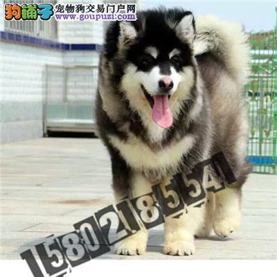 正规犬舍直销精品阿拉斯加 包纯种包健康