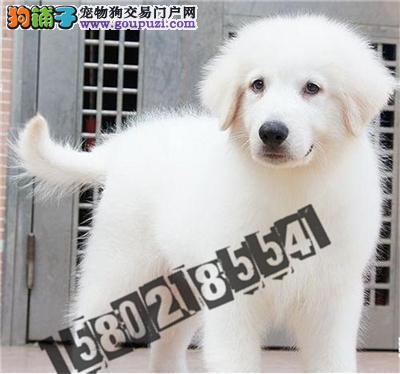 犬舍直销精品大白熊 包纯种包健康