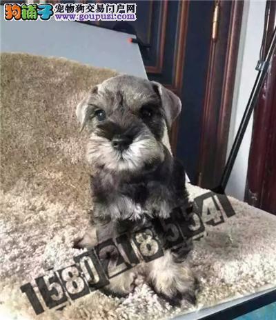 犬舍直销精品雪纳瑞包纯种包健康