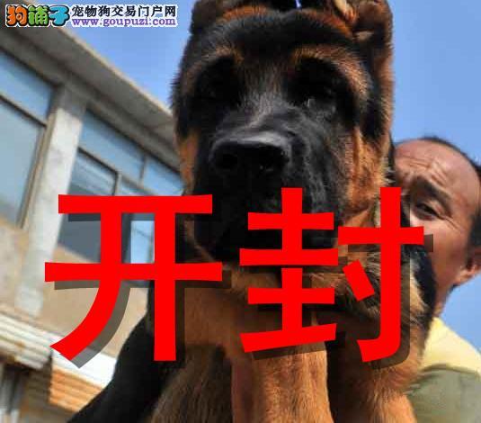 开封最大狗场狼狗犬销售,本地狗场几十个品种