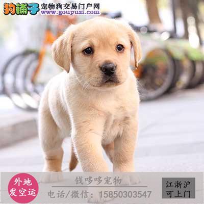 高品质拉布拉多犬出售 头版好骨量大包健康