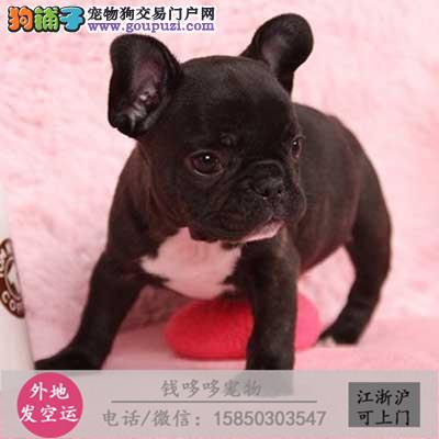 纯种法斗幼犬 公母多只可选 包健康包纯种常年有货