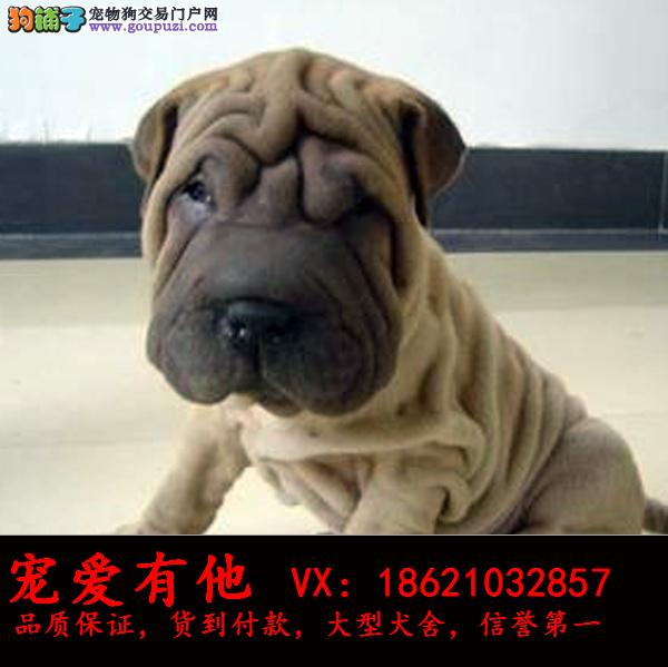 犬舍直销 高品质纯种赛级犬 疫苗驱虫已做好 可上门