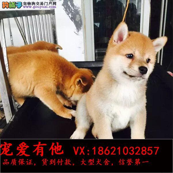 高品质纯种(柴犬幼犬)出售。纯种血统包退换
