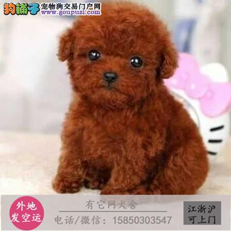 本犬舍出售高品质泰迪 比熊 博美 保健康