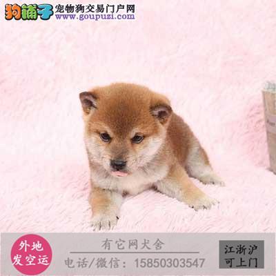 纯种柴犬 健康小柴幼犬待售中 三个月健康保障