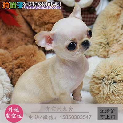 出售 吉娃娃幼犬 ,茶杯娃娃苹果头,可上门签协议