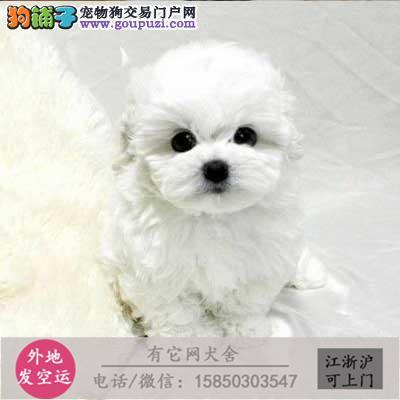 精品比熊幼犬 甜美可爱 专业繁殖犬舍保证健康