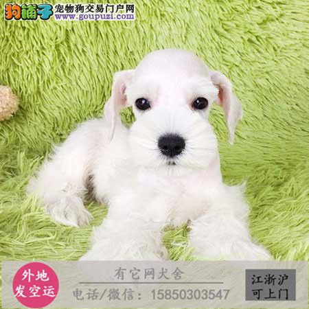 萌到极点 迷你活泼可爱雪纳瑞幼犬保活保健康.