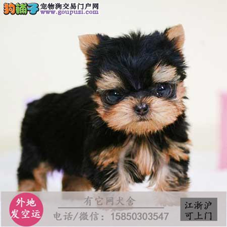 纯种约克夏幼犬品相佳,包健康。驱虫疫苗附售犬