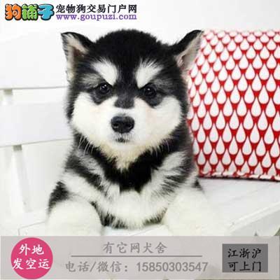 繁殖高品质 阿拉斯加幼犬 出售