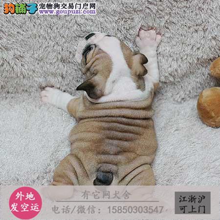 高端品质超好品相常年销售英斗幼犬