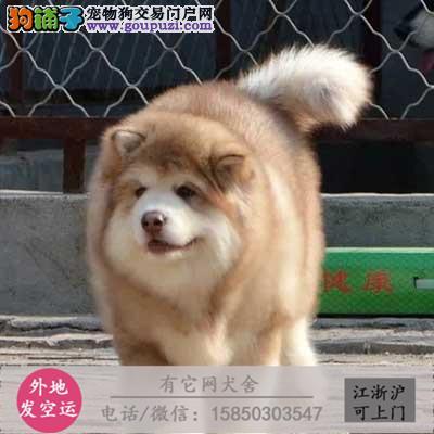 出售纯种巨型红黑阿拉斯加幼犬签协议质保 可上门挑选