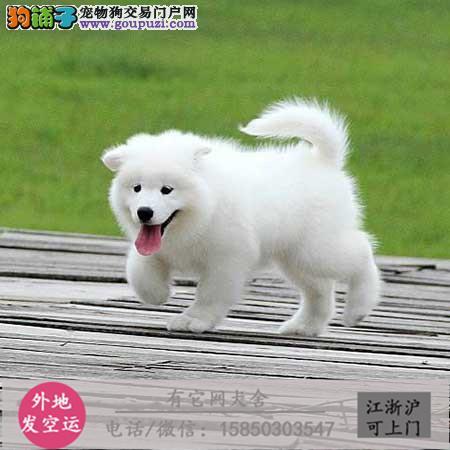 超萌银狐犬、价格优惠 品质保障