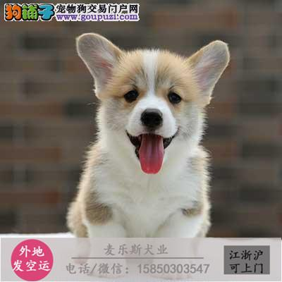 专业繁殖(柯基幼犬)可来基地挑选。签协议保健康