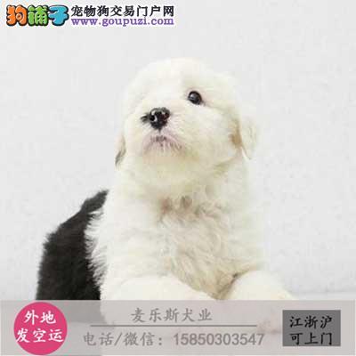 纯种古牧幼犬,白头黑背赛级,正规犬舍繁殖 包纯种