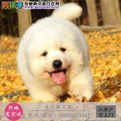 澳熊版微笑白天使、骨量大、毛量多;萌萌哒