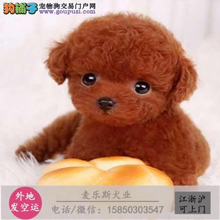 纯种可爱泰迪熊包健康包纯种出售 可签协议 欢迎