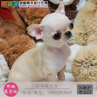 出售纯种 吉娃娃犬墨西哥吉娃娃犬