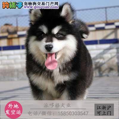 巨型大猛犬高加索幼犬 骨架大 包健康