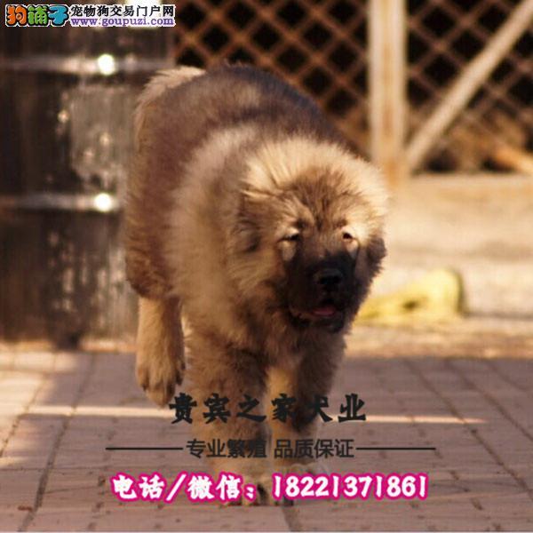 纯血大骨量高加索幼犬,多只可选,保健康,可上门选狗