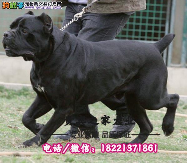 繁殖基地出售赛级品相卡斯罗幼犬,保健康包纯种签质保