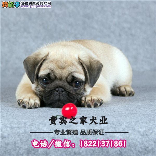 极品巴哥幼犬.多只可选 赠户口 包活保健康 可刷卡