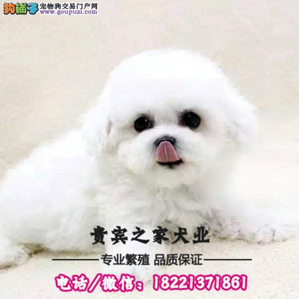 韩国引进 大眼睛甜美脸型比熊幼犬保纯种健康质保三年