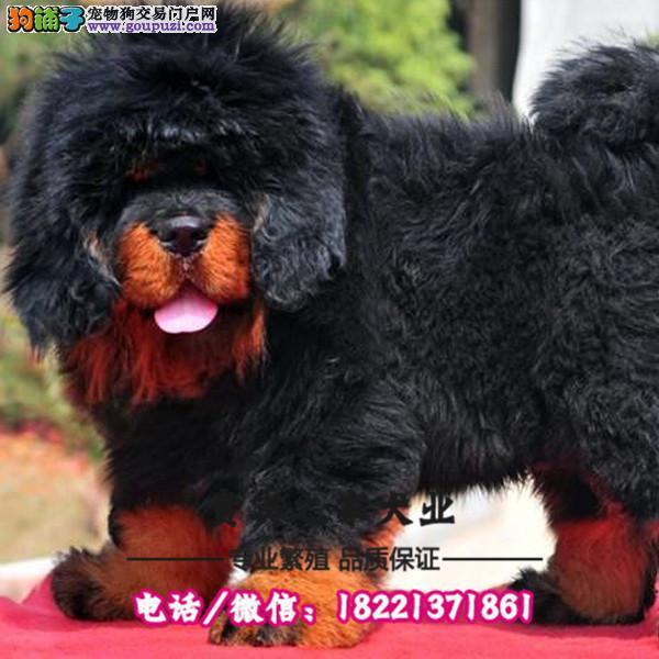 精品3个月藏獒价格 北京藏獒多少钱 大腮皮藏獒犬舍