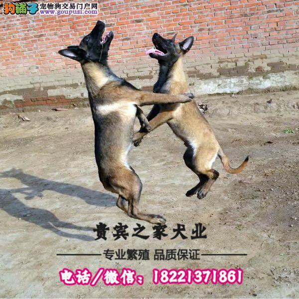 华美犬业 坚持马犬纯正繁殖 保证健康 保证纯种