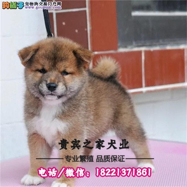 冠军名犬会所12周年特惠 日本柴犬30天健康质保