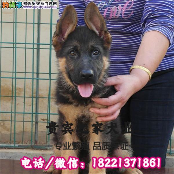 墨界黑狼犬,黑狼幼犬出售。