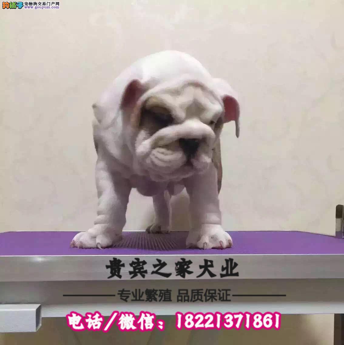 纯种恶霸犬顶级美国恶霸犬出售 保证血统纯种健康