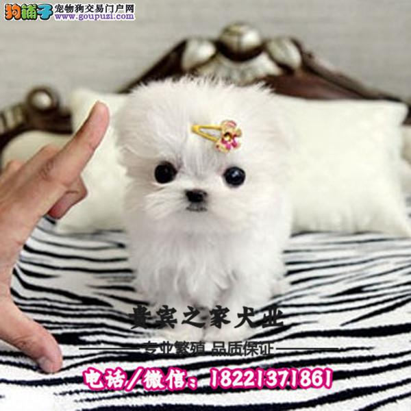 高端贵族萌宠小体马尔济斯犬在售 上门做客签质保协议