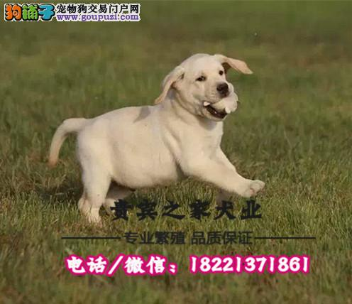 高品质拉布拉多 血统好骨量大 幼犬多只欢迎上门挑选